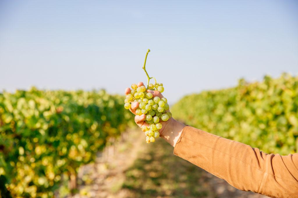Grappe de raisin Sud Charente